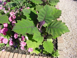 PHOTO: The naranjilla plant has thick green leaves that are about 10-12 inches long, 8-10 inches wide, with deeply serrated edges. Leaves have dark purple hairs on the veins and petioles.