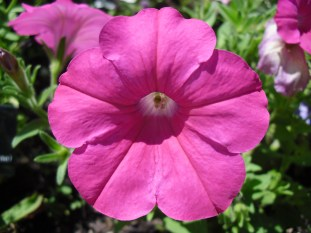 PHOTO: close-up of a bright pink petunia.