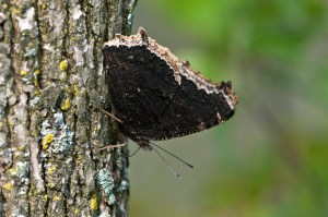 PHOTO: The Mourning cloak butterfly.