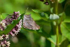 PHOTO: Side view of the question mark butterfly.