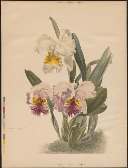 Cattleya mossiae and Cattleya mossiae var. Wagnerii