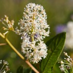 PHOTO: Blooms of Ceanothus americanus (New Jersey tea).
