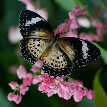 PHOTO: Cethosia cyane (Leopard lacewing) butterfly.