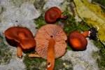 PHOTO: Cinnabar mushroom.