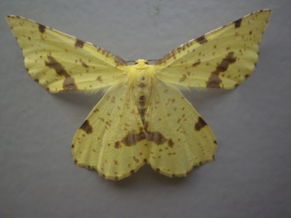 PHOTO: Crocus geometer (Xanthotype urticaria).