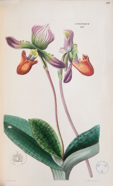 ILLUSTRATION: An unidentified Cypripedium, or slipper orchid.