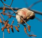 A cute finch that visits the Garden in winter. ©Carol Freeman