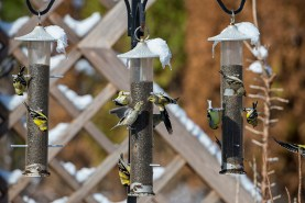 PHOTO: Goldfinches cover a set of 3 feeders at the Garden.