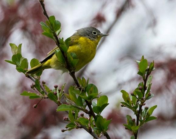 PHOTO: Nashville warbler.