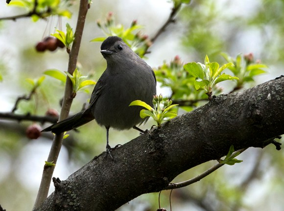 PHOTO: Gray catbird.