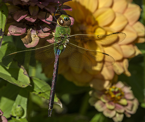 One of the large Darner dragonflies that migrates in the fall. ©Carol Freeman