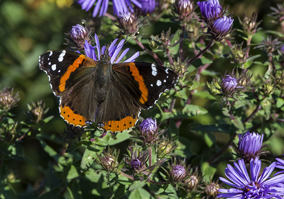 PHOTO: Red Admiral butterfly.