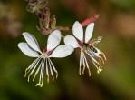 PHOTO: Gaura blooms.