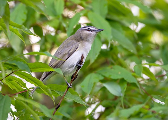 PHOTO: Red-eyed vireo.