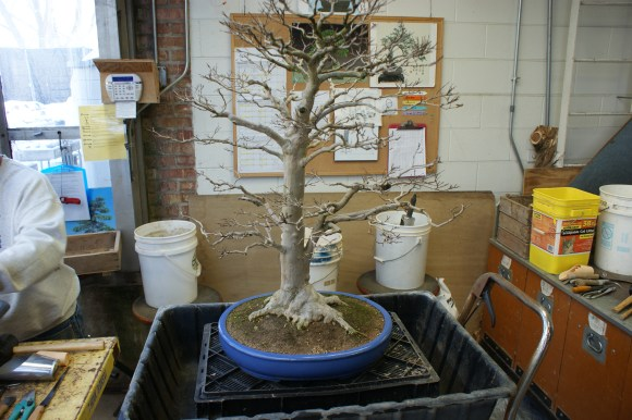 PHOTO: Bonsai ready to be repotted.