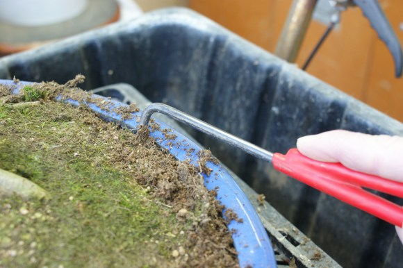 PHOTO: Loosening a bonsai from its pot with a root hook before repotting.