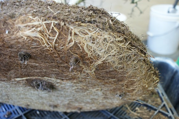 PHOTO: Root plugs—where the roots started to grow down through the drainage holes in the pot—prevent proper drainage.