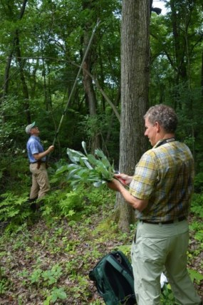PHOTO: An extended telescopic pole is used to take cuttings of the current season's plant growth.