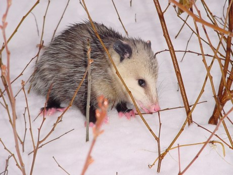 PHOTO: A baby opossum is seen in the snow surrounded by dormant plant stalks.