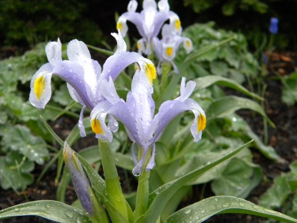 PHOTO: Closeup of dwarf Iris 'Evening Shade'