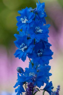 PHOTO: Delphinium in bloom.