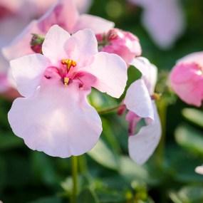 Diascia Barberae 'Flirtation Pink'.