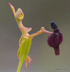 PHOTO: Closeup of a hammer orchid.
