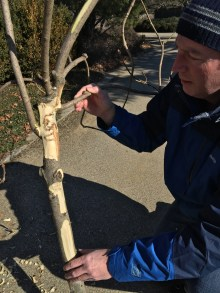 PHOTO: Dr. Cipollini holds the limb on which we found emerald ash borer activity.