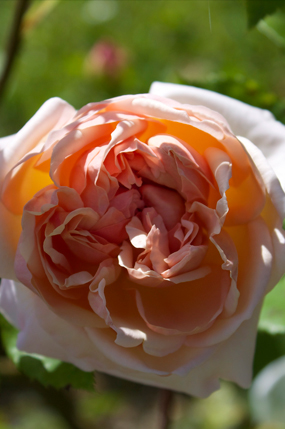 Evelyn rose (Rosa 'AUSsaucer')