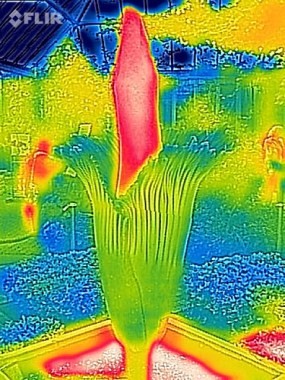 PHOTO: A thermographic image of Alice in bloom shows the spadix heating up.