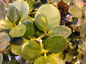 PHOTO: Green Island ficus.