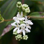 PHOTO: Heptacodium miconioides in bloom