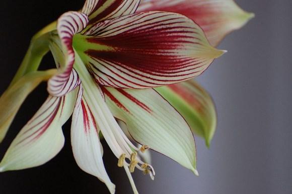 PHOTO: Closeup of Hippeastrum papilio bloom.