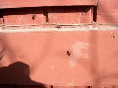 PHOTO: Three boxelder bugs sunning themselves on the wood siding of the Garden's Learning Center.