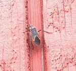 PHOTO: closeup of a boxelder bug climbing on the wood siding of the Learning Center.