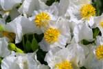 Delicate flowers of the Dwarf bear-poppy.