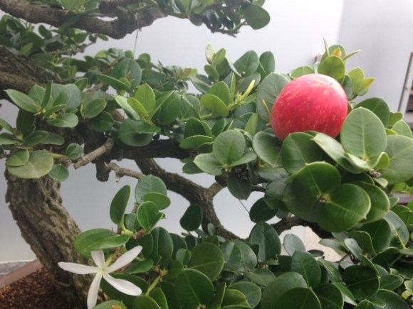 PHOTO: Natal plum bonsai in fruit and flower.
