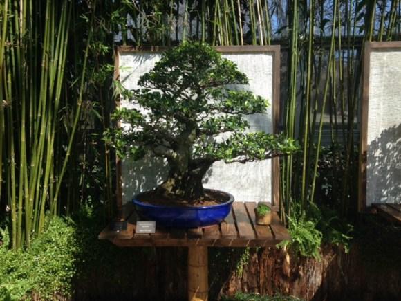 PHOTO: Chinese banyan (Ficus microcarpa) bonsai.
