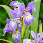 PHOTO: Iris virginica var. shrevei.