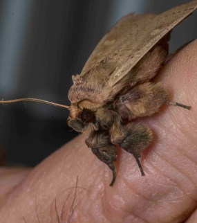 PHOTO: Leucania pseudargyria (False wainscot moth).