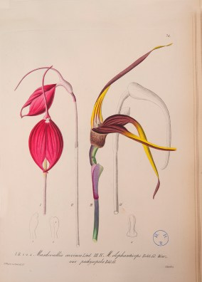 PHOTO: An illustration of Masdevallia coccinea from an illustrated book panel.