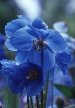 Himalayan blue poppy is now grown and displayed in gardens across the country.