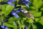 This humming bird was busy sipping nectar from the flowers outside of the Blub Garden. ©Carol Freeman
