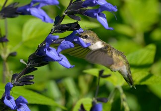 PHOTO: Hummingbird gathering nectar.