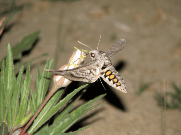 PHOTO: Night photo of hawkmoth sipping nectar from evening primrose.