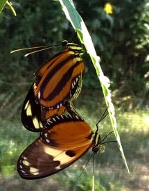 PHOTO: Large tiger longwing (Lycorea cleobaea) butterflies mating in the exhibit