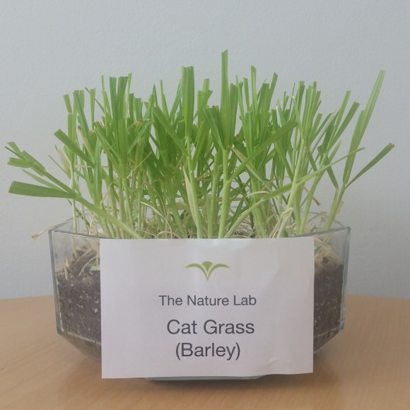 Cat Grass (Barley).