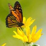 PHOTO: A monarch butterfly (Danaus plexippus) on a compass plant (Silphium laciniatum)