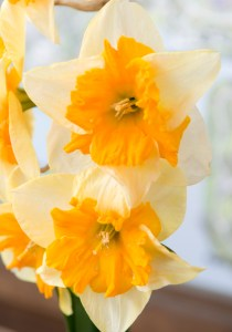 PHOTO: Narcissus 'Mondragon'