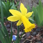 Narcissus 'Tweety Bird'